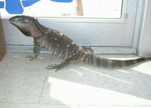 LOOKING FOR TEGU MONITORS OR SKINK, TORTOISE SEE AD