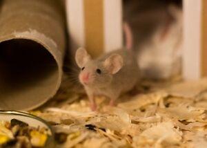 5 week old mice