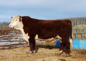 * POLLED HEREFORD BULLS FOR SALE *