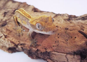 FOR SALE: HIGH % PINSTRIPE DALMATIAN Crested Gecko