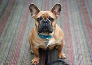 French Bulldogs Bouledogue Francias
