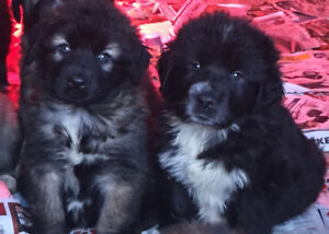 Newfoundland X Tornjak X Great Pyrenees Puppies