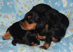Sweet Miniature Long Coat Dachshund Puppies