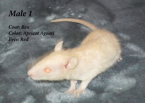 Young Male Rex Rats