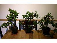 Crassula Ovata or jade / money plant in bonsai tree style.