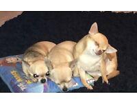 3 tcup chihuahuas