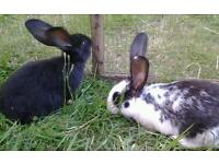 Baby Continental Giant Rabbits