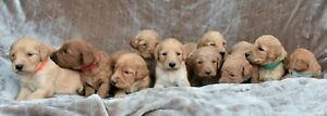 Goldendoodle Puppies/genetic health tested parents