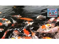 Japanese Koi Fish For Sale - New Stock Just In This Week In Dorset, Hampshire, New Forest