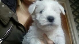 Kc reg Minature schnauzer pups
