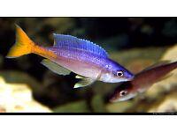 Cyprichromis leptosoma f1 pair