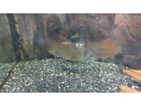 Various tropical fish for sale, Synodontis catfish, ghost knifefish,silver dollars