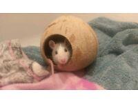15 week old female rat for adoption