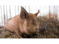 Tamworth pigs for sale