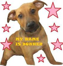 Donner - Labrador x Staffy 5 months ADOPT NOW Ingleside Warringah Area Preview