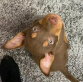 Border collie 9 week old pup