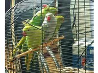 HIGH & STRONG QUALITY Baby Indian Ringneck Parrots [£90 EACH] For Sale & BRAND NEW Cages From £20