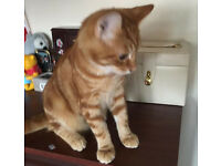 MISSING GINGER MALE KITTEN 26 WEEKS OLD