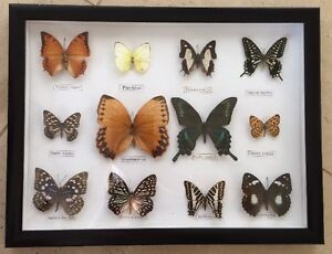 NEW  DISPLAY FRAMED COLLECTION 12 BUTTERFLIES MOTHS REAL SPECIMINS