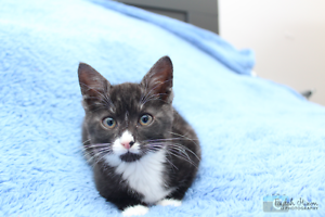 Kloey rescue KITTEN to adopt VET WORK INC Clarkson Wanneroo Area Preview