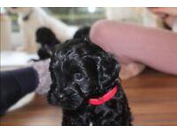 7 Lhasa Apso X Miniature Poodle Puppies for sale