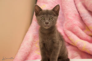 Gypsy rescue KITTEN to adopt VET WORK INC Carramar Wanneroo Area Preview