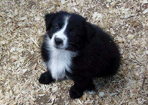*maxi-mini* Australian Shepherd puppies (with tails)