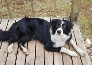 WANTED! Missing BORDER COLLIE from Wentworth, NS, area.