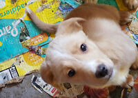 Golden Retriever and Foxhound Terrier Cross Puppies