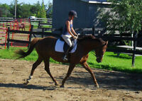 Beauitful Chestnut Mare For Sale