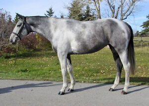 Fancy Colored Warmblood, Suit Any Discipline