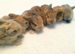 Sweet purebred Holland Lop bunnies!