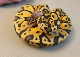 Female super pastel ball python