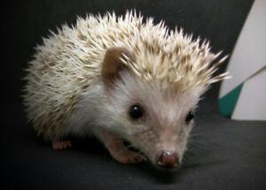 hedgehogs 9 weeks old