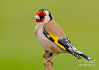 looking to buy european goldfinches