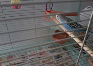 1 Budgie and 2 cages for sale