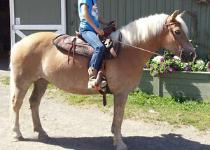 10 year old halflinger mare