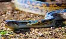 Female scrub python. Gawler Gawler Area Preview