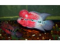 Red Pearl Flowerhorn Fish for sale