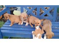 Border terrier/jack russell cross puppies