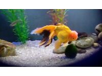 Oranda goldfish 8/9 inches in length,nice and healthy
