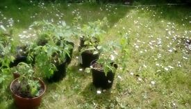 tomato plants for sale