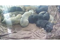 staffy puppies ready for homing 3-4 weeks