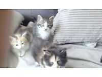 Kittens for sale 35 pounds each
