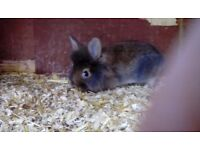 Netherland dwarf female rabbits for sale - £30.00 each