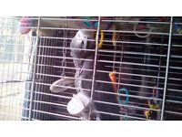 4 year old african grey for sale