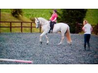 Grey Lusitano mare 16hh. Has hunted, competed successfully at dressage & long distance rides