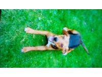 Beagle girl