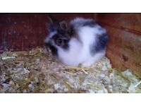 Netherland dwarf cross baby rabbits for sale - £45.00 each