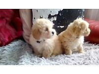 Poochon teddy pups with test papers